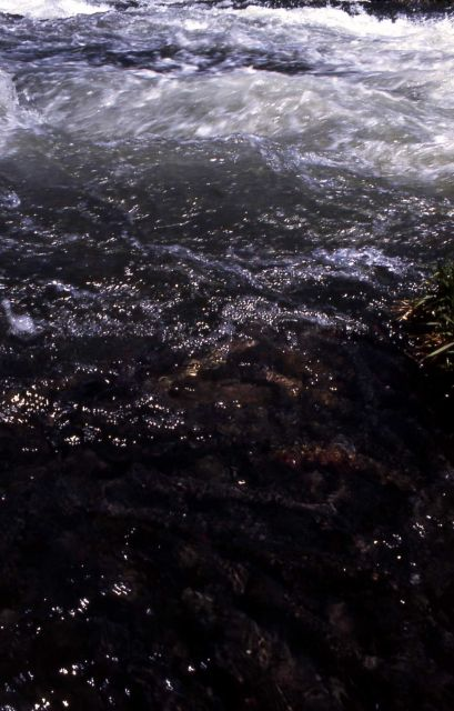 Spawning Trout in LeHardy Rapids Picture