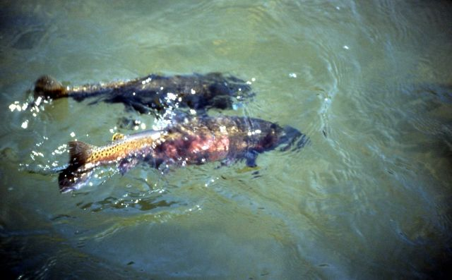 Spawning Cutthroat Trout in water Picture