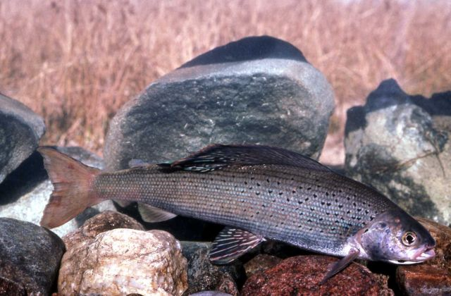 Grayling Picture