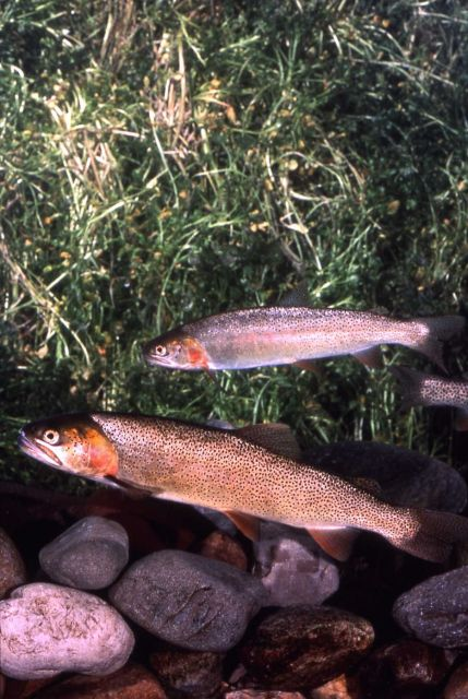 Snake River Cutthroat Trout Picture