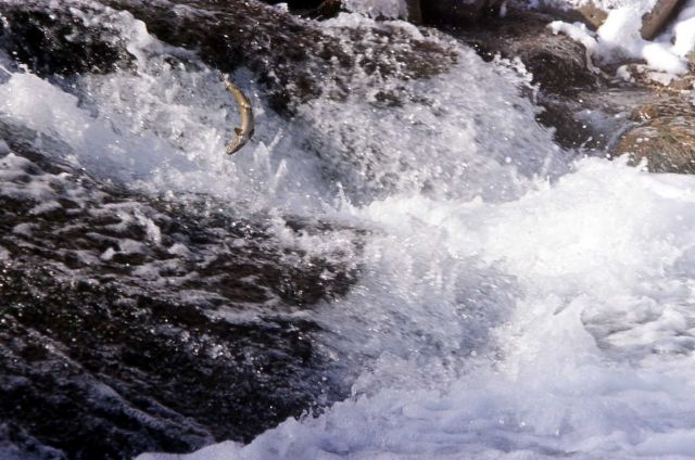 Brown Trout leaping water fall Picture