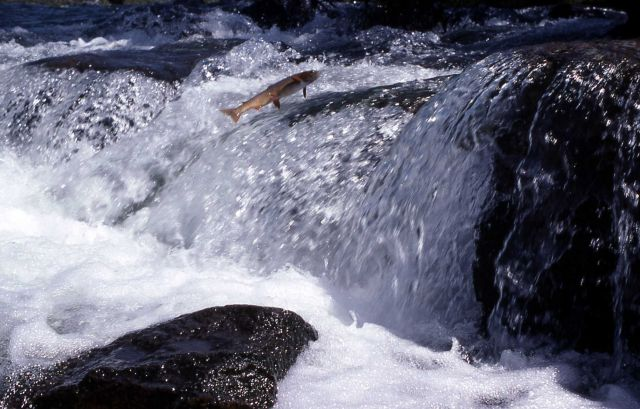 Cutthroat Trout leaping at LeHardy Rapids Picture