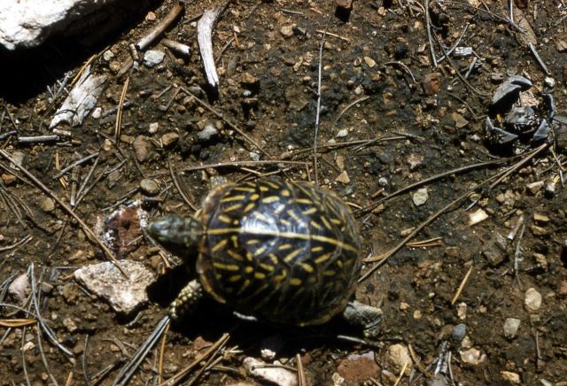 Ornate Box Turtle in the Canyon area Picture