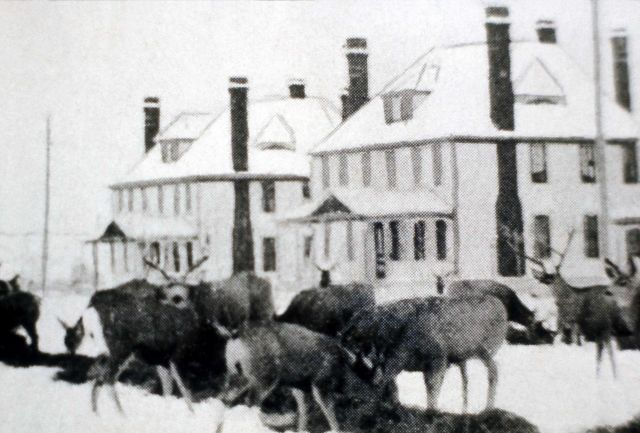 Deer being fed at Fort Yellowstone Picture