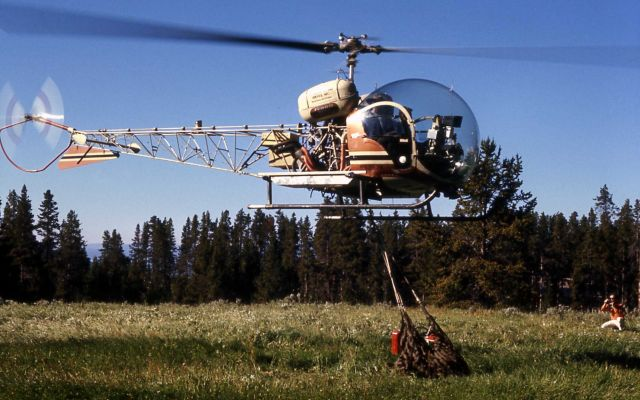 Helicopter removing anesthetized grizzly bear Picture