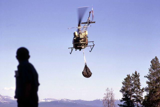 Helicopter transporting anesthetized grizzly bear Picture
