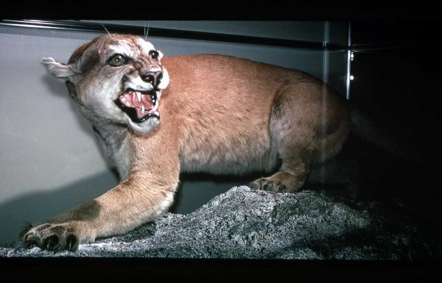 Mountain Lion exhibit at Mammoth Hot Springs Picture