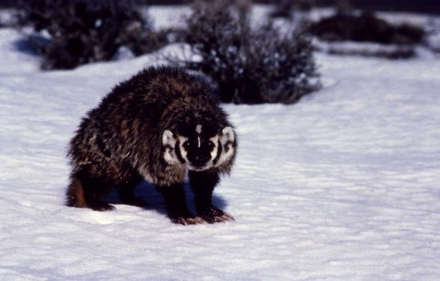 Badger in winter in Oregon Picture