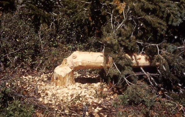 Beaver-downed pine tree Picture