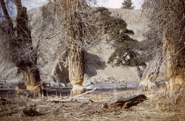 Beaver-gnawed trees at Gardiner River Picture