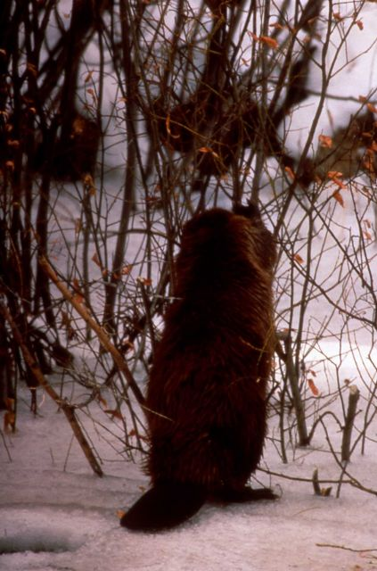 Beaver eating, possibly willow, in snow - Slide from Grand Teton National Park Picture