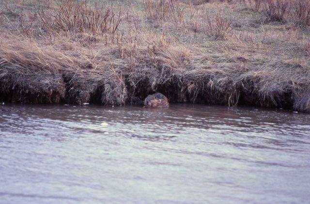 Beaver in Soda Butte Creek near confluence with Lamar River Picture