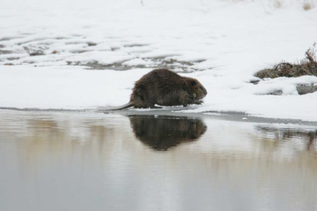 Beaver at Soda Butte Creek near confluence with Lamar River Picture