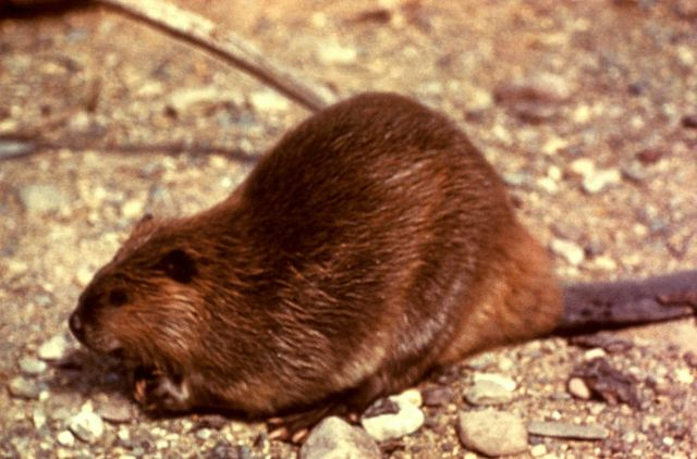 Beaver Picture