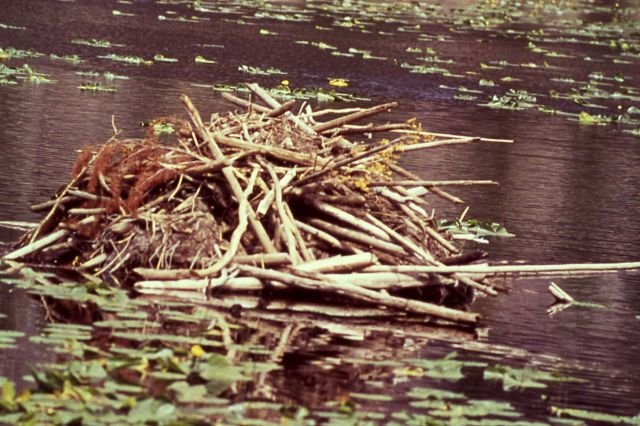 Beaver lodge Picture