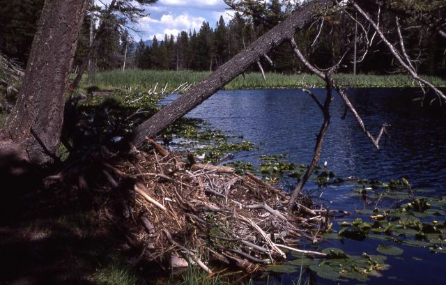 Beaver house at Lost Lake Picture