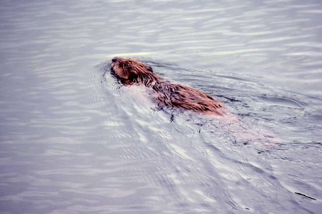 Beaver swimming in Joffe Lake Picture