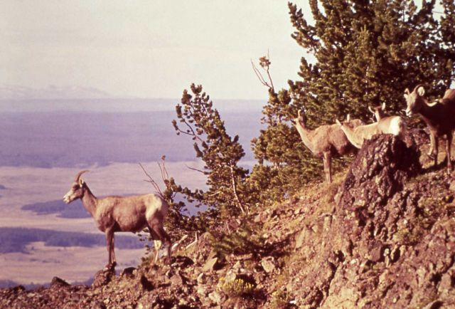 Bighorn Sheep on Mt Washburn Picture
