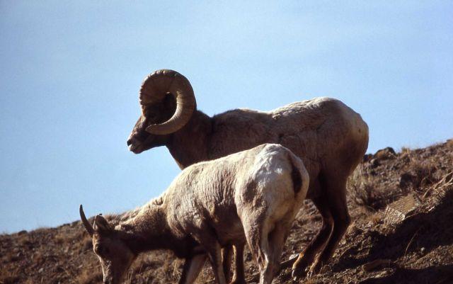 Bighorn Sheep ewe and ram Picture