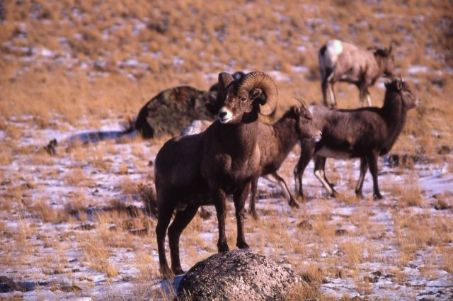 Bighorn Sheep on Mt Everts Picture