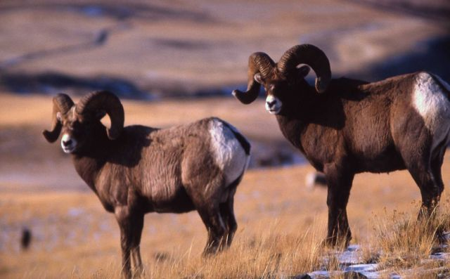 Two Bighorn Sheep rams Picture
