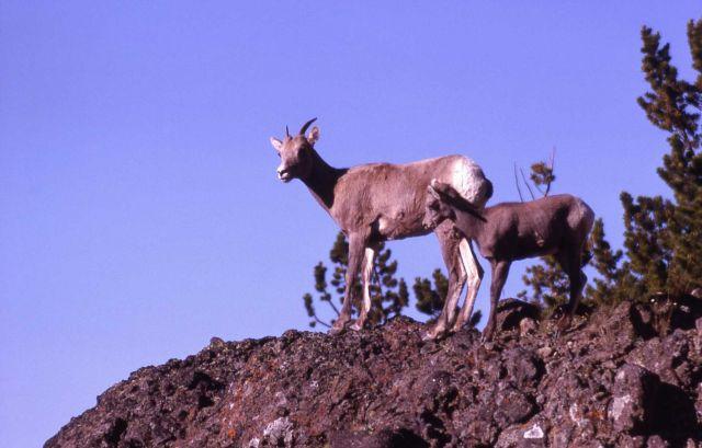 Bighorn Sheep on Mt Washburn Picture