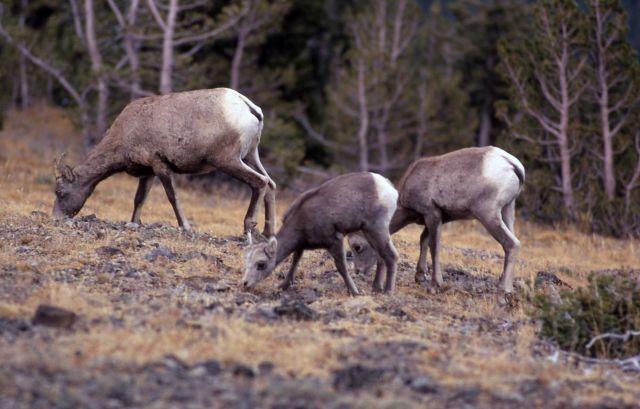 Bighorn Sheep ewe and lamb on Mt Washburn Picture