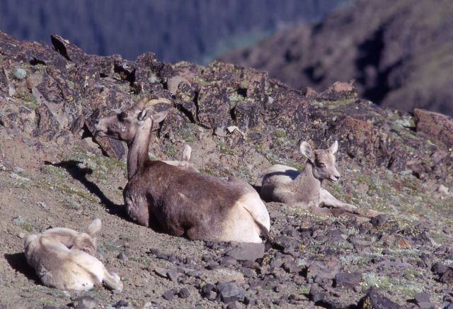 Bighorn Sheep ewes and lambs Picture