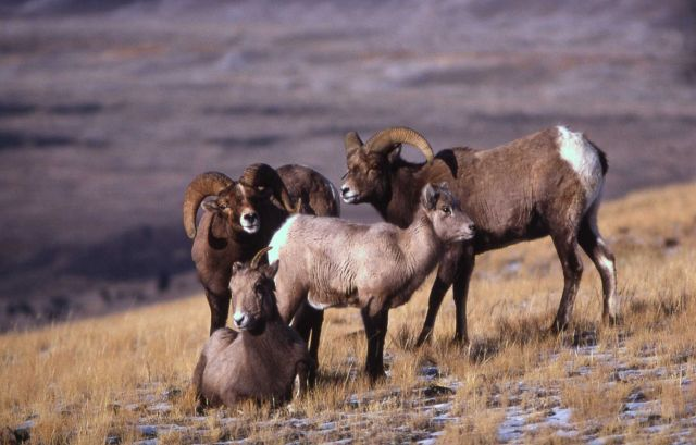 Bighorn Sheep Picture