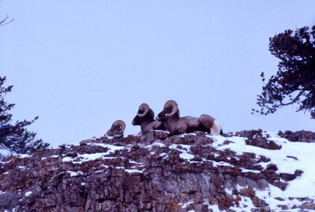 Bighorn Sheep rams on mountain cliff in snow Picture
