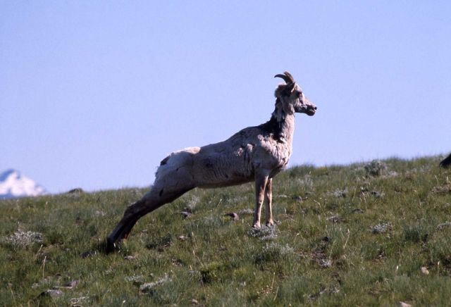 Bighorn Sheep ewe Picture