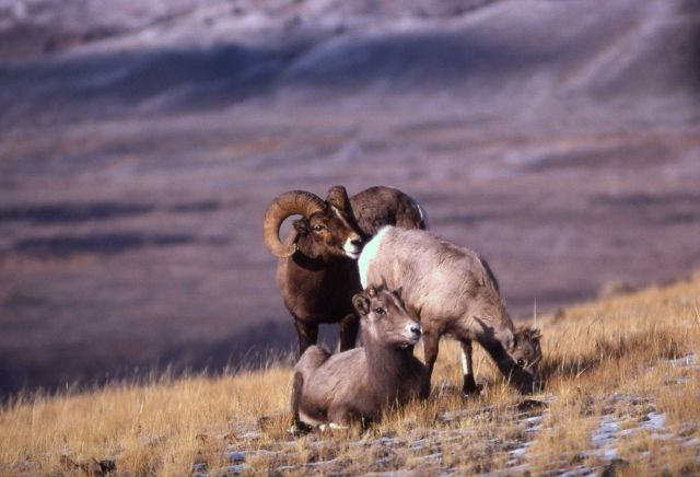 Bighorn Sheep ewes & ram on slope Picture