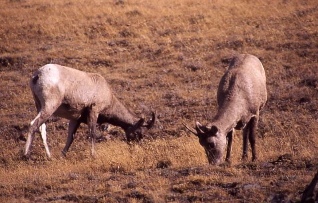 Two Bighorn Sheep ewes grazing with heads down Picture