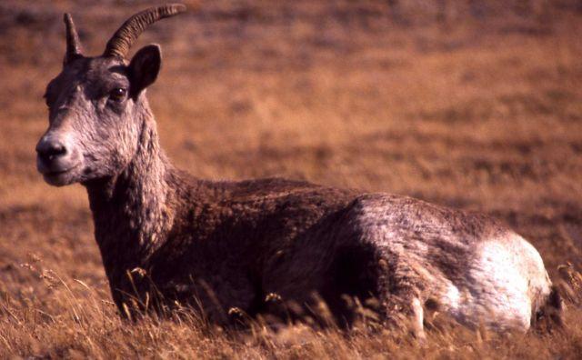 Bighorn Sheep ewe lying down, side view Picture