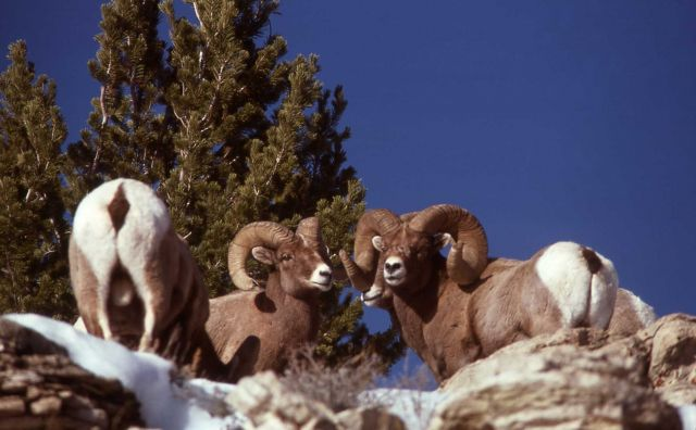 Bighorn Sheep on Terrace Mountain in winter Picture