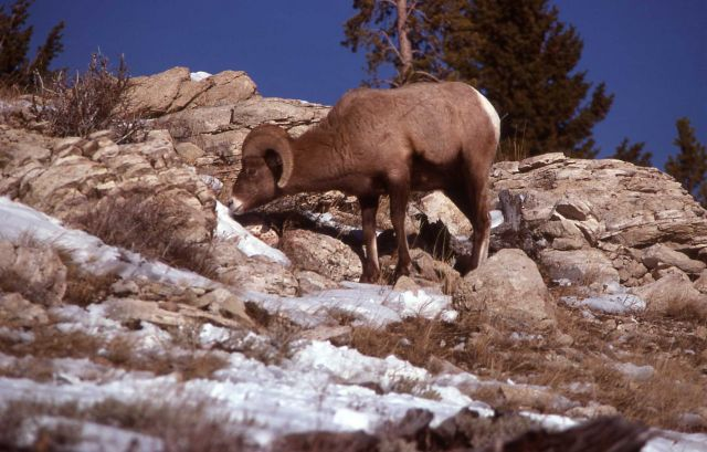 Bighorn Sheep ram on Terrace Mountain Picture