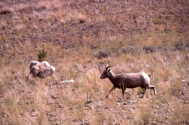Bighorn Sheep ewe Picture