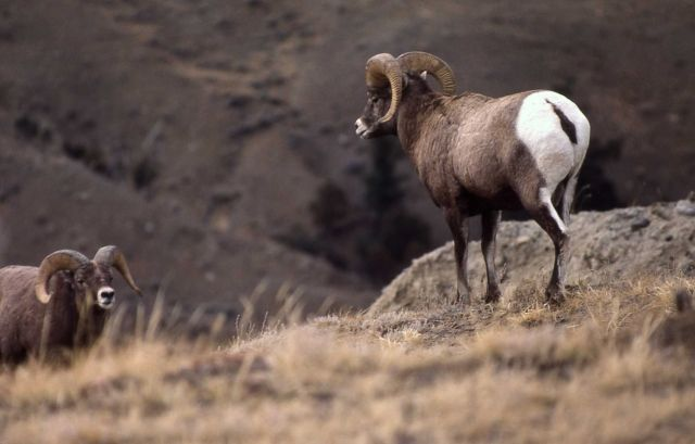 Two Bighorn Sheep rams on Mt Everts Picture