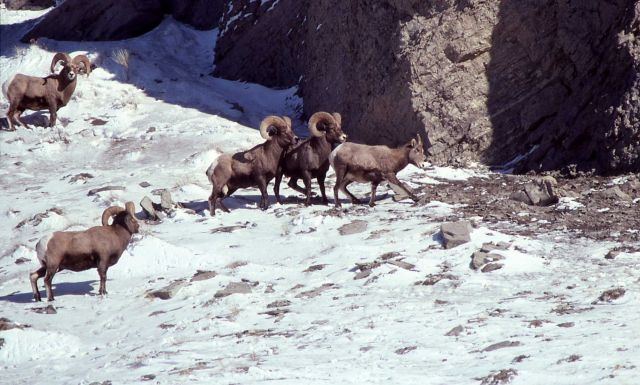 Bighorn Sheep in Gardner River canyon in winter Picture