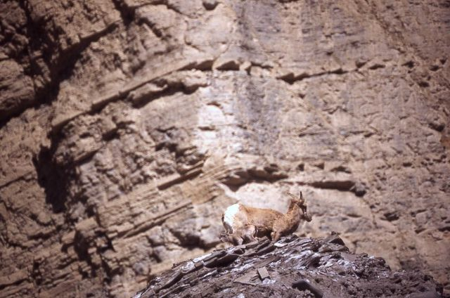 Bighorn Sheep ewe with lamb Picture