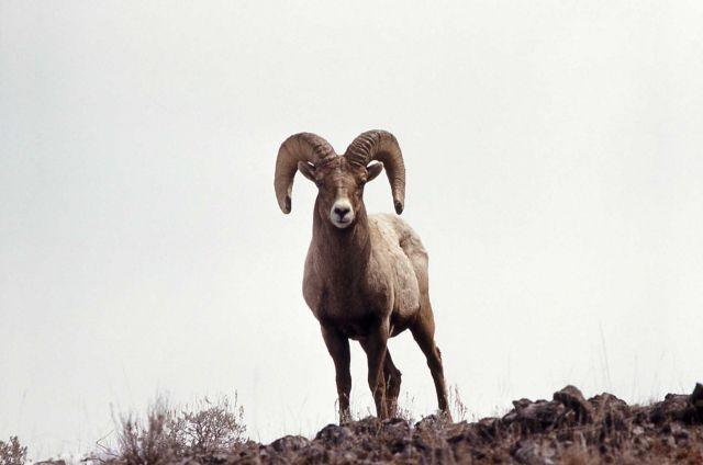 Bighorn Sheep ram Picture