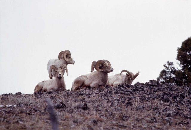 Bighorn Sheep rams Picture