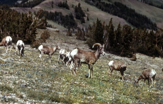 Bighorn Sheep in Tower Falls area Picture