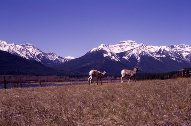 Bighorn Sheep in Banff National Park, Canada Picture
