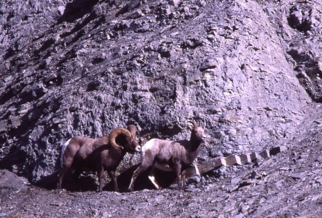 Bighorn Sheep ram & ewe on steep slope in Gardner River canyon Picture
