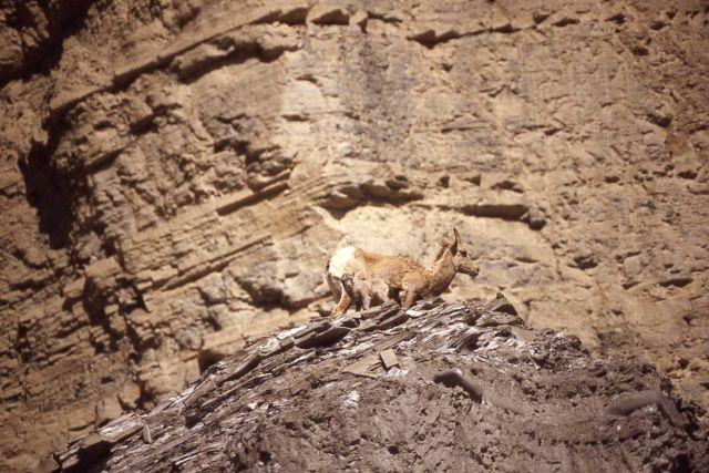 Bighorn Sheep ewe & lambs on steep slope in Gardner River canyon Picture