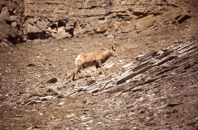 Bighorn Sheep ewe & lamb in Gardner River canyon Picture