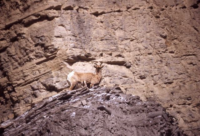 Bighorn Sheep ewe & lambs near North Entrance in Gardner River canyon Picture