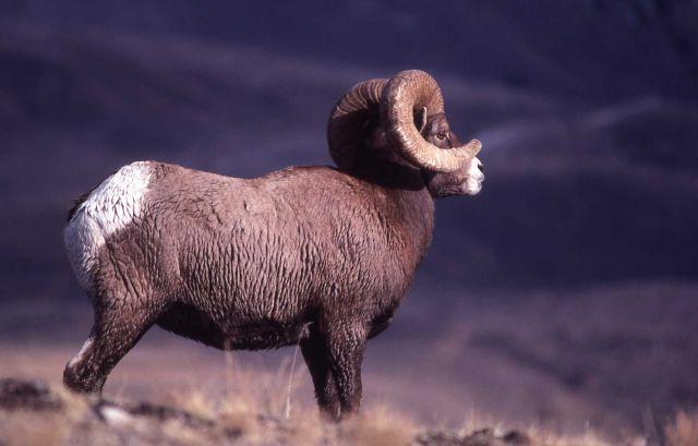 Bighorn Sheep ram profile Picture