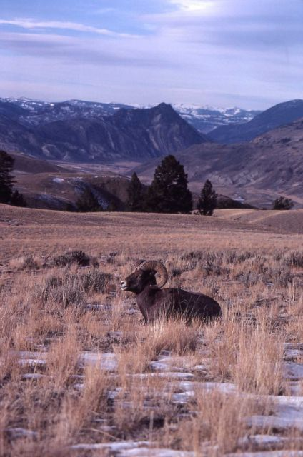 Bighorn Sheep ram in snow with Devils slide in background Picture